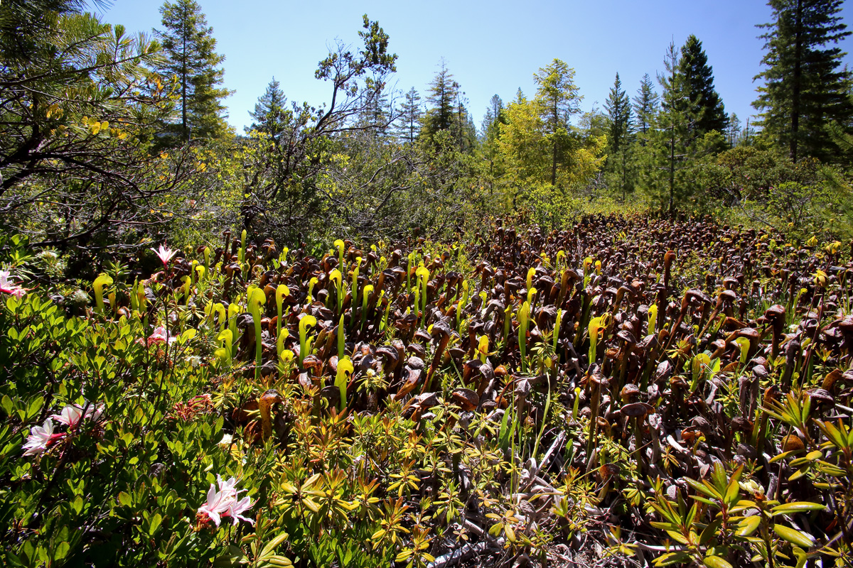 Darlingtonia-californica