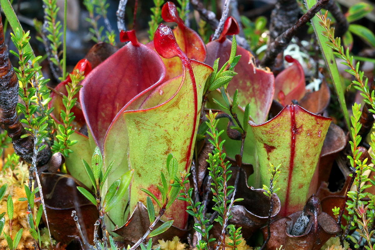 Heliamphora minor var. minor