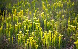 Sarracenia flava var. rugellii