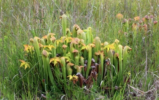 Sarracenia minor