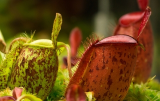 Nepenthes ampullaria