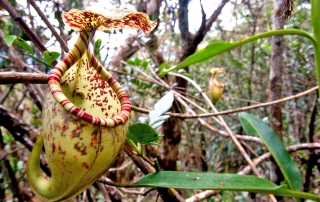 Nepenthes burgbidgeae